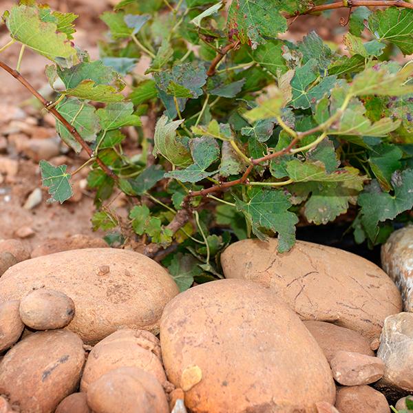 La vigne pousse entre les cailloux du vignoble du Domaine du Mas de Rey