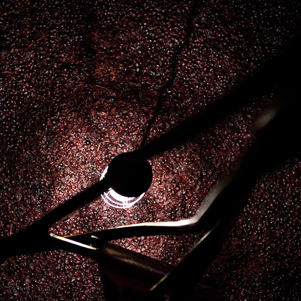 Raisin du vignoble du Domaine du Mas de Rey à l'intérieur d'une cuve au Domaine du Mas de Rey