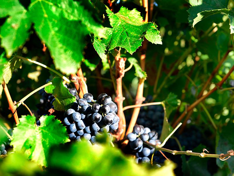 Gros plan sur le Marselan du vignoble dudu Domaine du Mas de Rey