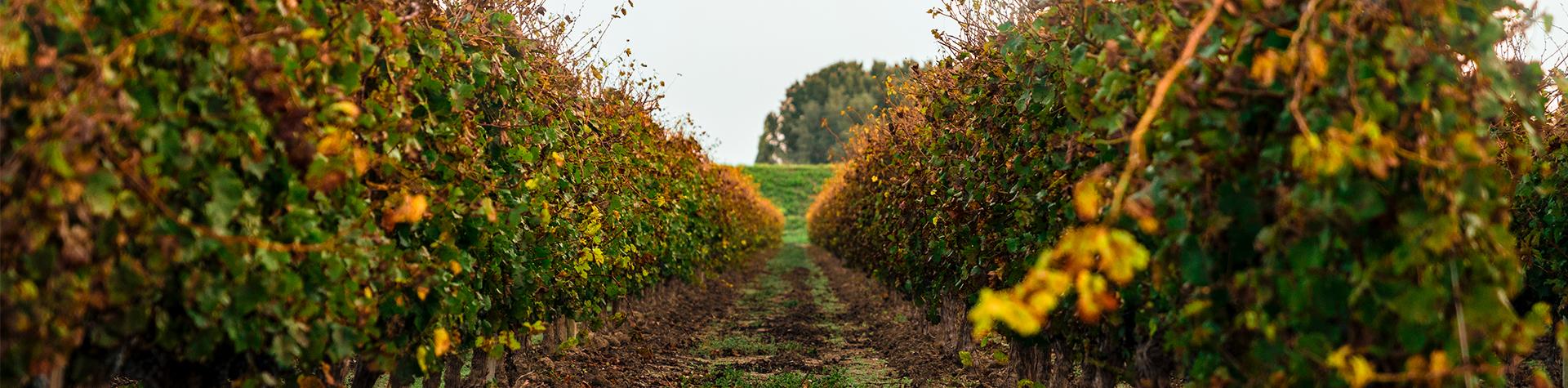 Vignoble du Domaine du Mas de Rey en automne