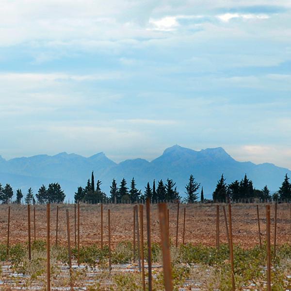 VIgnoble du Domaine du Mas de Rey en hiver du Domaine du Mas de Rey avec vue sur les Alpilles